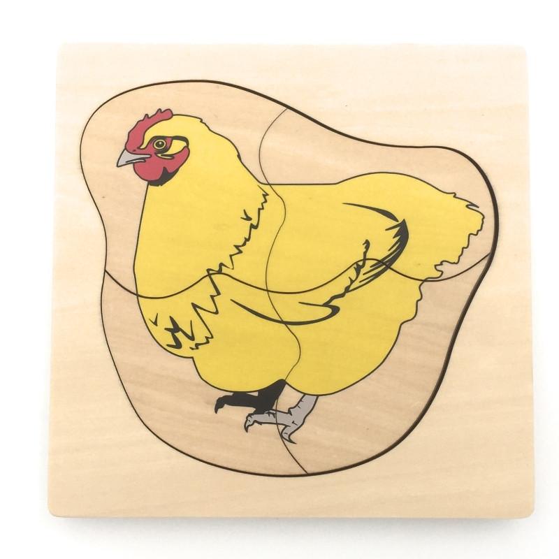 cycle de vie du poulet 1