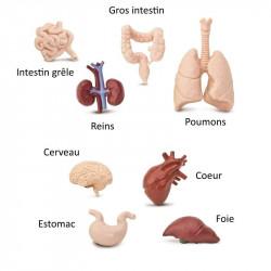 Tube - Organes humains