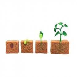 Cycle de vie du plant de haricot