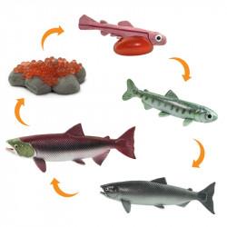 Cycle de vie du saumon
